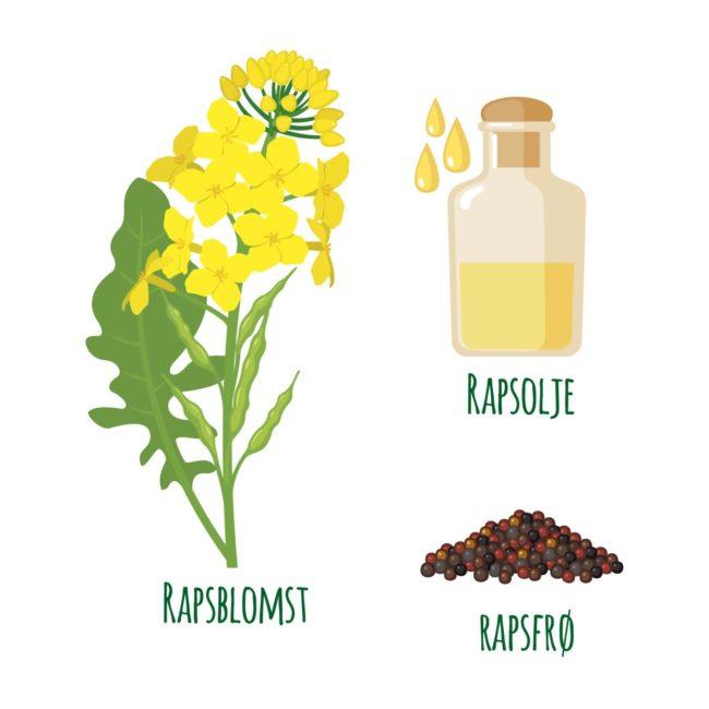 illustrasjon rapsplante, frø og olje